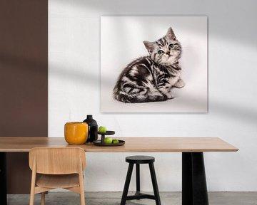 Britisch Kurzhaar Katzenbaby von Jeroen van Alten