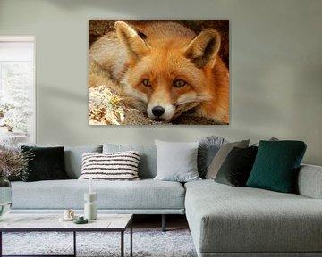 Nahaufnahme eines Fox im Schatten und liegt in dem Sand von Joke te Grotenhuis