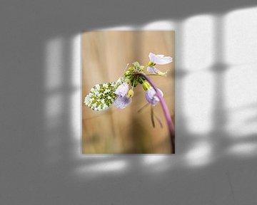 Kuckuck-Blume von Lex Schulte