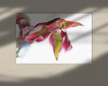 Tulpe von Marianna Pobedimova