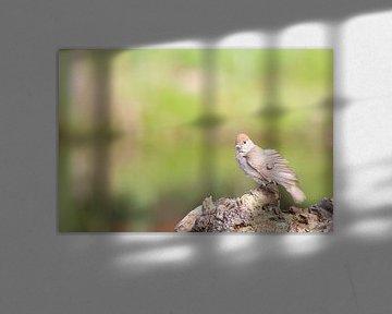 Zwartkop, Sylvia atricapilla - vrouwtje