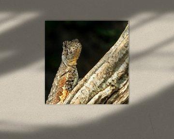 De Mopskopleguaan - Uranoscodon superciliosus van Rob Smit