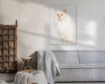 Cream point ragdoll op lichte achtergrond sur Dagmar Hijmans