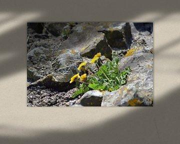 Paardebloem tussen de rotsen van Lendy Fotografie .