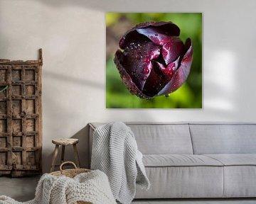 Tulp met dauw von Paul Kampman