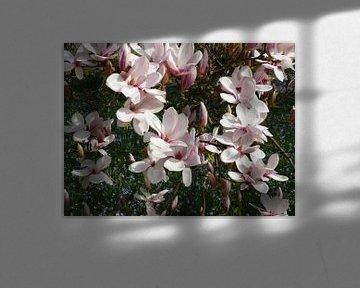 Magnolienblüten im Frühling - blühender Tulpenbaum -(Magnolien) von RaSch-BS_Design