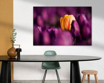 Gelbe Tulpe zwischen violetten Blumenzwiebeln von Fotografiecor .nl