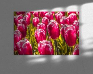 Paarse tulpen von Stedom Fotografie