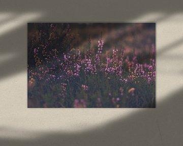 paarse heide in bloei bij avondlicht von Margriet Hulsker