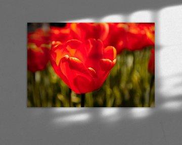Stralende rode tulpen von Stedom Fotografie