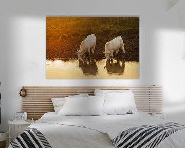 Witte koeien, drinkend bij zonsondergang van Karla Leeftink