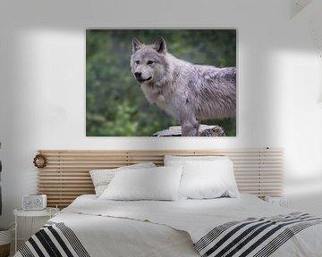 Wolf in Yoho NP, Kanada von Christa Thieme-Krus