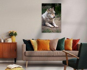 Liggende wolf in Yoho NP, Canada van Christa Thieme-Krus
