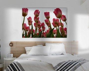 Roze tulpen tijdens de tulpenroute Noordoostpolder von Ad Jekel