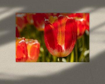 Zonnig tulpenveld von Stedom Fotografie