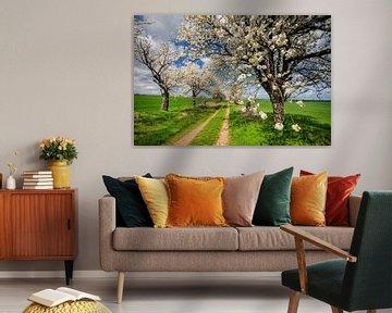 Kirschbäume von Steffen Gierok