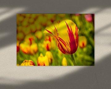 Een veld vol tulpen von Stedom Fotografie
