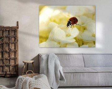 Lieveheersbeestje op de witte hortensia