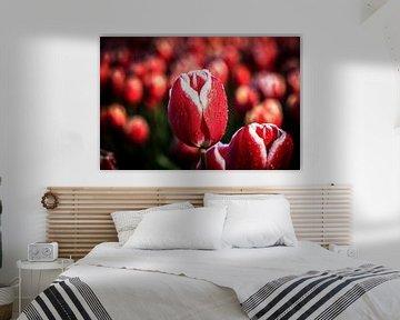 Rot mit weißer Tulpe im Flevo-Polder von Fotografiecor .nl