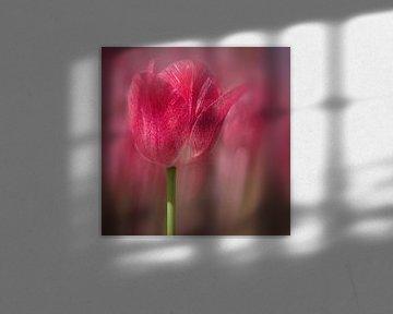 rode tulp in bloei