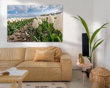 Weiße Tulpen im Zwiebelfeld von Fotografiecor .nl