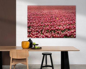 Rood gekleurde bloembollen veld in bloei van Fotografiecor .nl