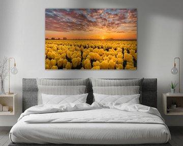 Gekust door de zon gele tulpen