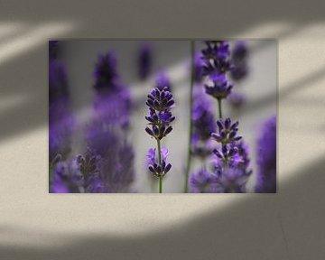 Lavendel van Peter Bosch