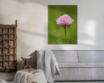 Bieslook of Allium schoenoprasum von Ronald Smits