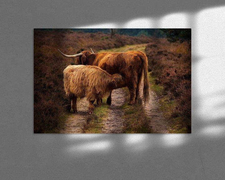 Sfeerimpressie: Schotse Hooglanders van Tim Abeln