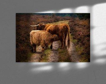Vaches des hautes montagnes