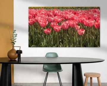 Veel rode tulpen