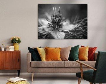 Schwarz-weiß, Nigelle von Sran Vld Fotografie