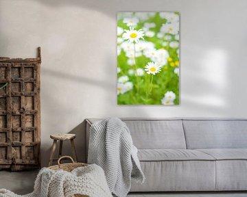 Marguerites des prés des prés (vulgare de Leucanthemum)  sur Sjoerd van der Wal
