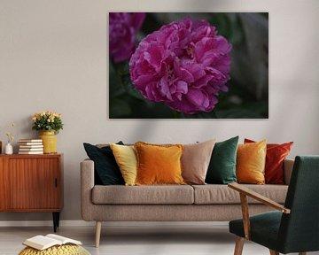 Pink Rose van Jeffry van Kalsbeek