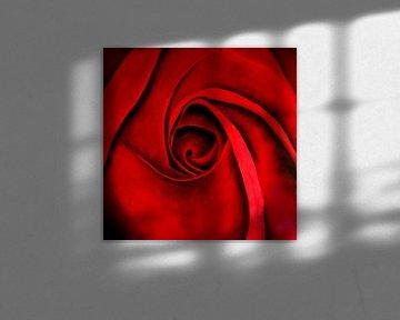 Red roses - Rode rozen sur Christoph Van Daele