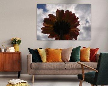 Onderkant van een Gerbera gefotografeerd tegen het zonlicht in  von Amanda van Herwijnen