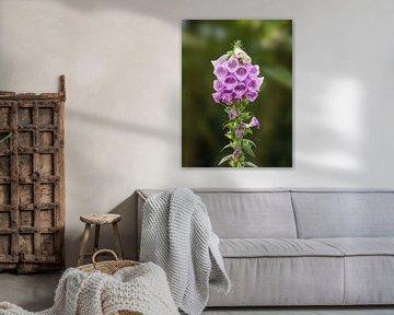 Lila Fingerhut Blume