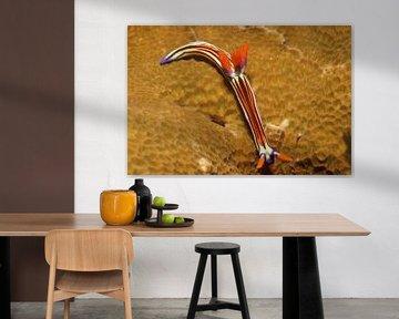 Zeenaaktslak toont zijn prachtige kleuren van M&M Roding