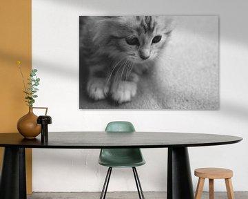 Schattige Maine Coon Kitten