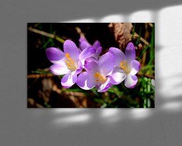 drie op een rij (paarse krokussen) von Myrte Wilms