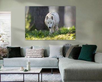 Arctic wolf van Wildpix imagery