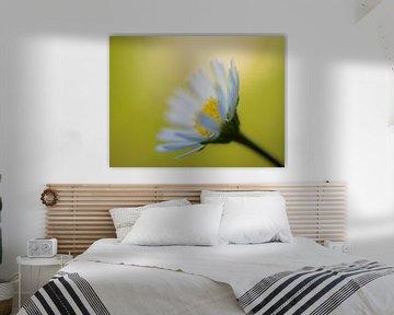 Gänseblümchen im Sonnenlicht sur Cynthia Derksen