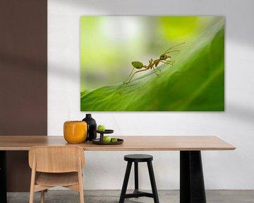 Le fourmi en Australie du Nord sur Sven Wildschut
