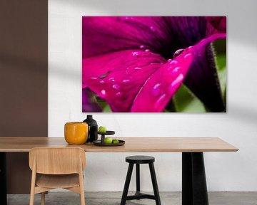 Hollands glorie! regendruppels op een bloem von Tess Groote