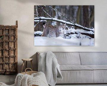 Lynx 1 van Wildpix imagery