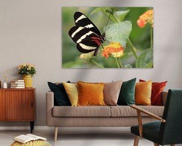Papillon (Heliconius Melpomène) - Le Postier