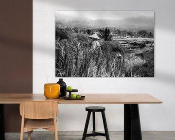Rijstvelden van Jatiluwih worden geoogst van Joris Pannemans - Loris Photography