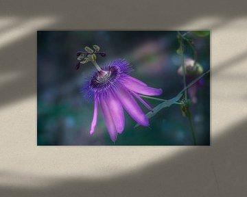 Purpure Passionsblume von Tim Abeln