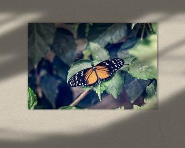 Heliconius Hecale Vlinder von Tim Abeln
